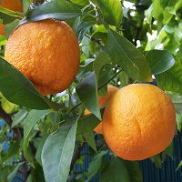 pomarańcza bergamotka
