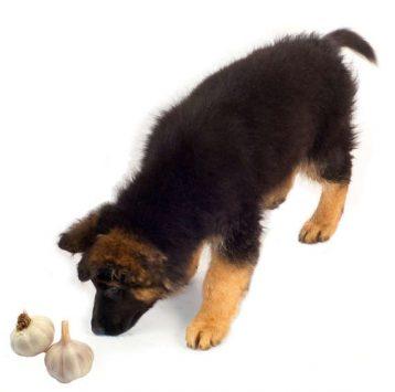 Czosnek - chroni przed kleszczami czy szkodzi psu