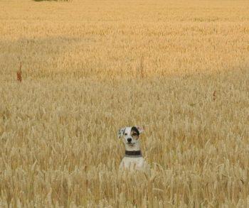 Czy zboża są złe dla psów? Rewolucja karm dla zwierząt.