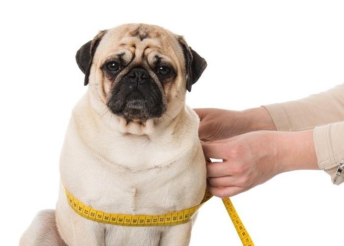 Najlepsze odżywianie dla psa z nadwagą